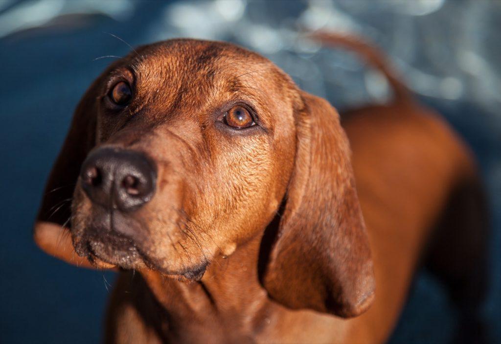 Close-up of redbone coonhound in focus