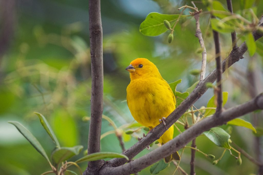 Close-up of a saffron finch perched on a tree branch