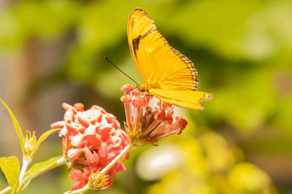 Close-up of sleepy orange butterfly aka Eurema Nicippe on red flowers