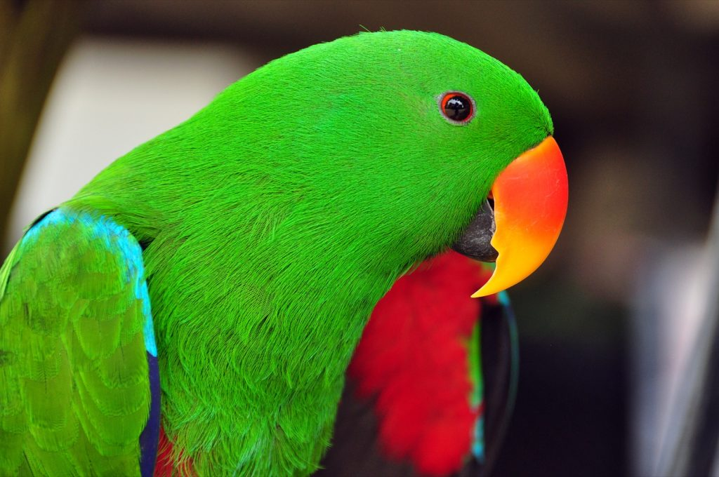 Close-up of vivid green eclectus parrot with a bright colored beak