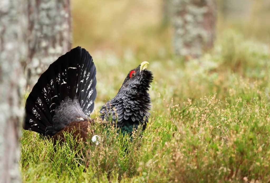 Close-up of a western capercaillie in a forest