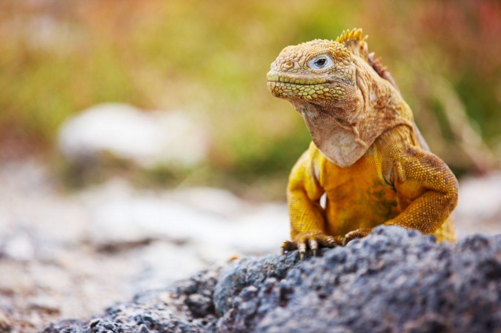 Close-up of yellow Galapagos land iguana