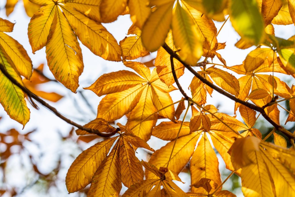 Close-up of yellow maple leaves in autumn