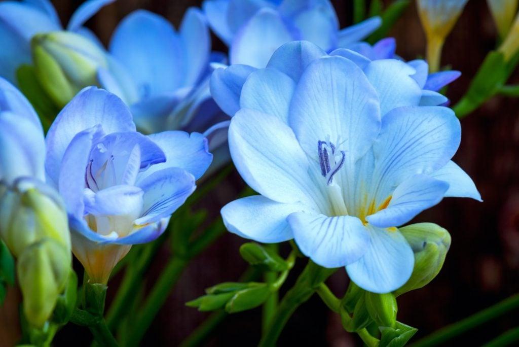 Closeup of blue Freesia flowers