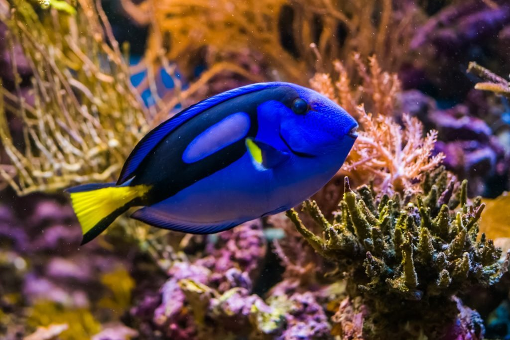 Closeup of exotic Blue Tang fish from the Pacific Ocean