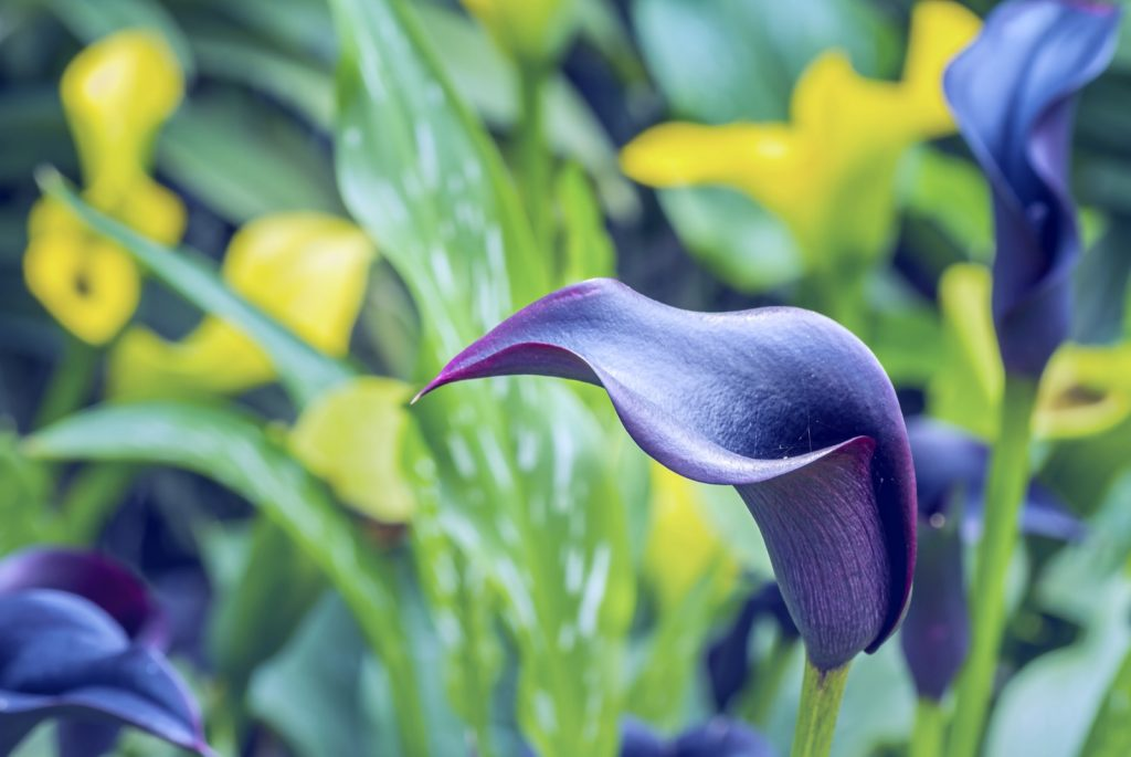 Closeup of Calla Lily in blue and purple colors in botanic flower garden