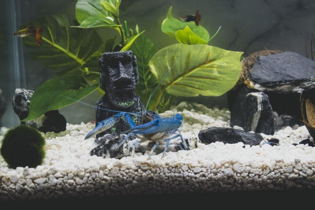 Closeup of an electric blue crayfish in an aquarium