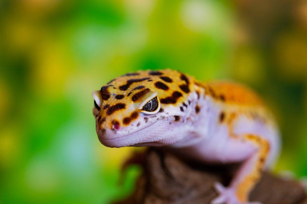 Closeup macro shot of yellow leopard gecko lizard aka Eublepharis Macularius
