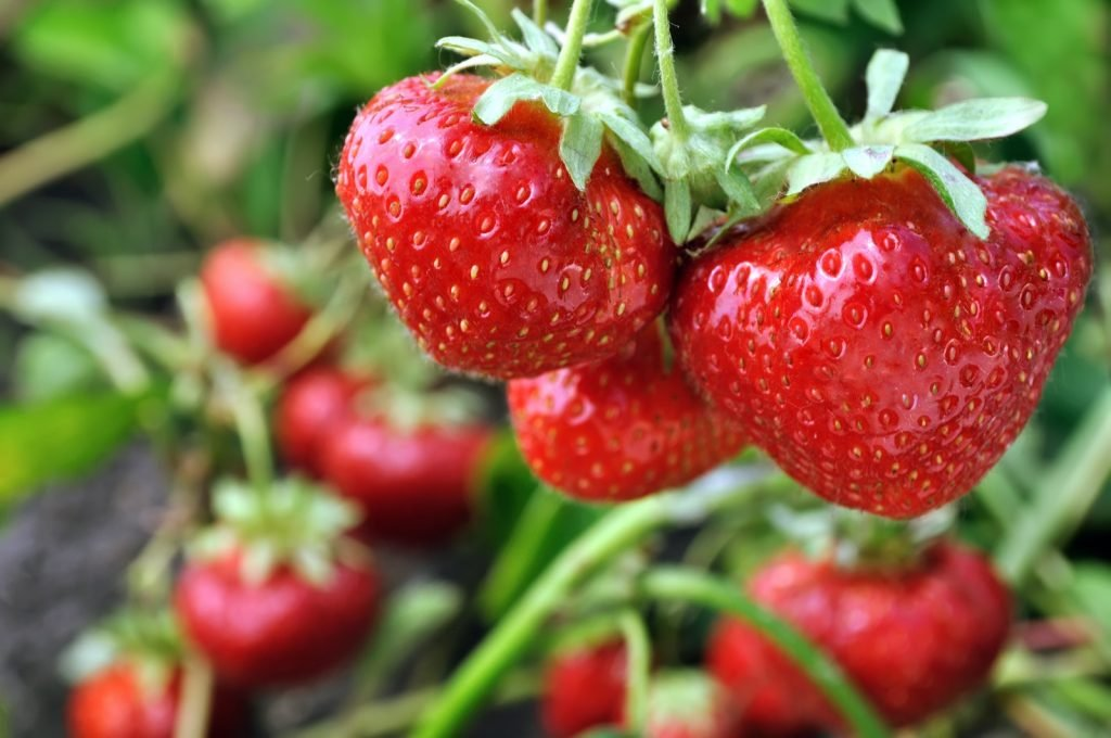 Closeup of ripe red strawberries in vegetable garden