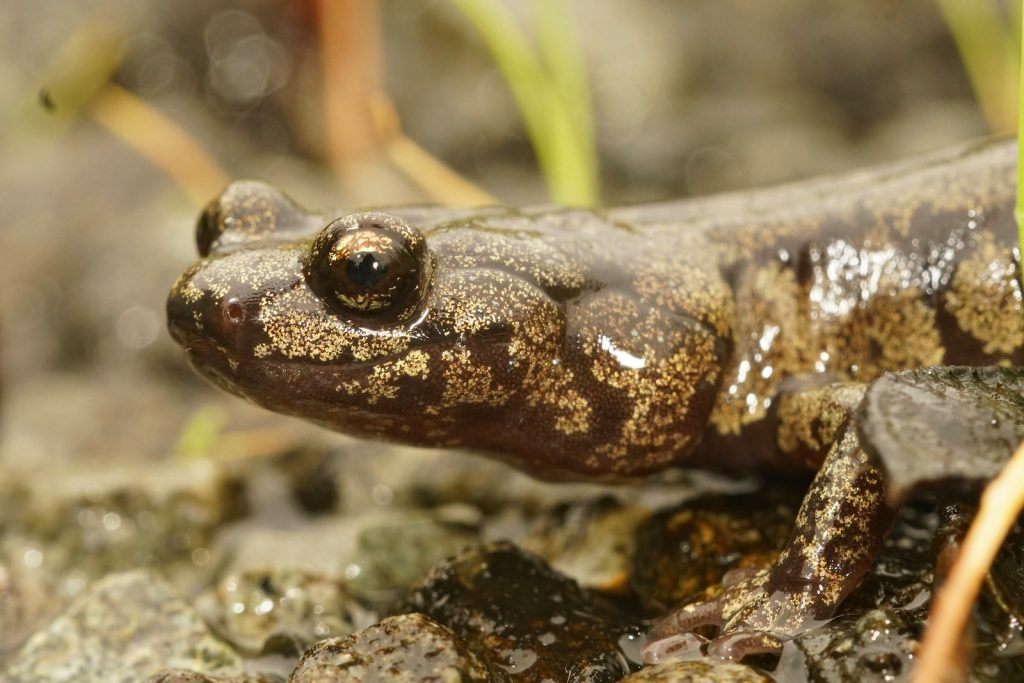 Close up of the head of a nice clouded salamander on the ground near a water stream