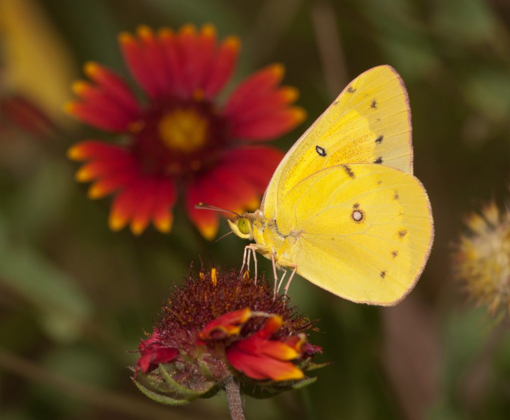 Bright yellow Clouded Sulphur butterfly feeding on an Indian Blanketflower