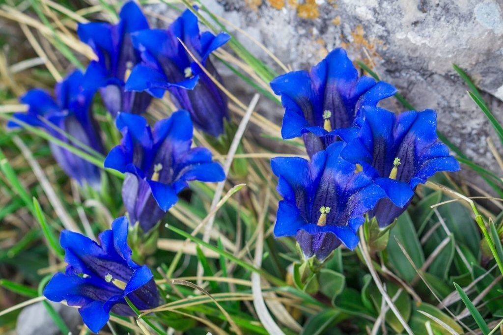 Clusius Gentian blue flowers growing in a natural environment