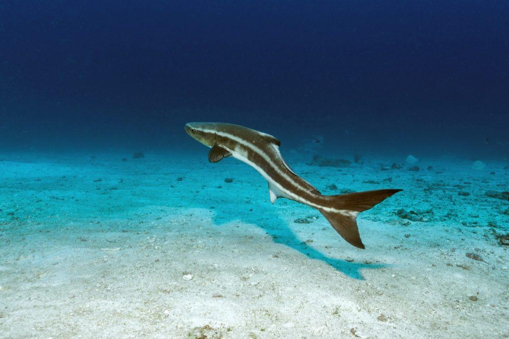 Cobia fish aka Rachycentron Canadum deep underwater