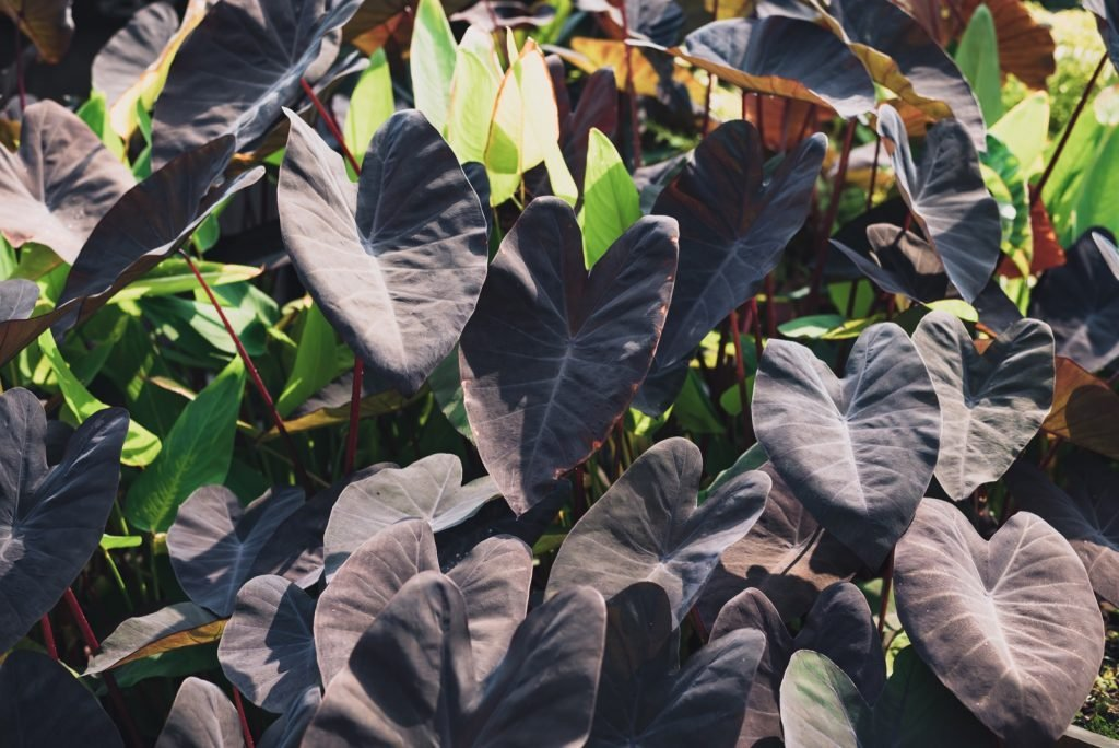 Colocasia black magic plants with heart shaped leaves