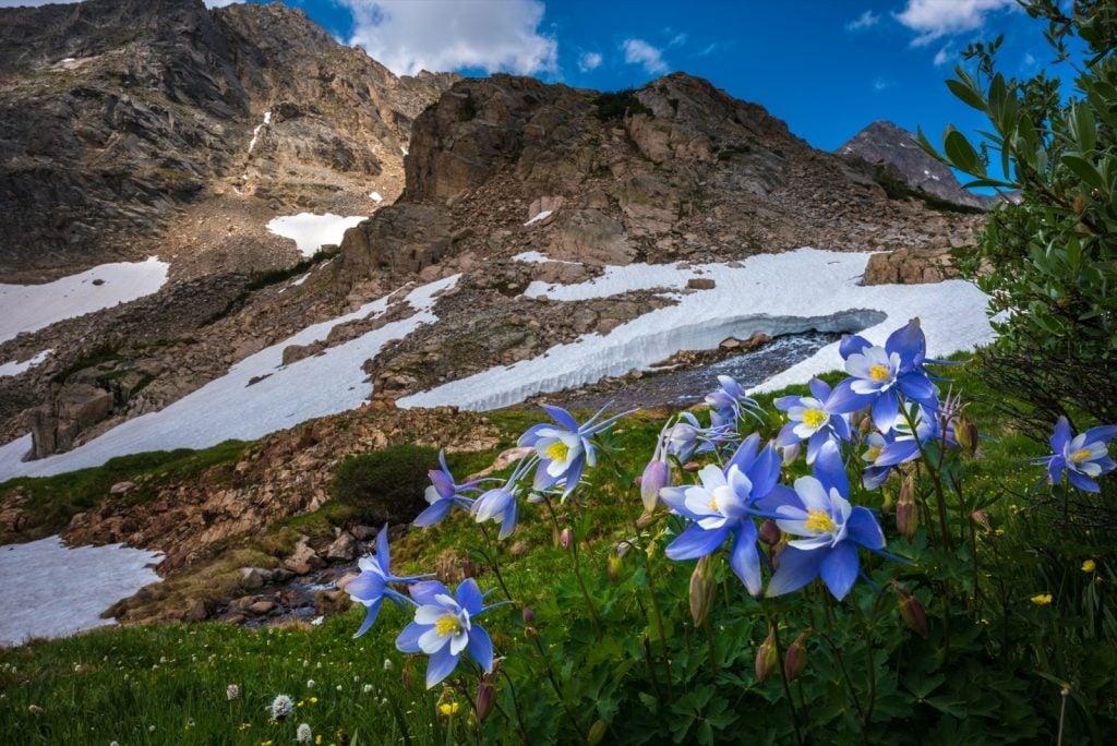 Colorado landscape with blue Columbine Flowers