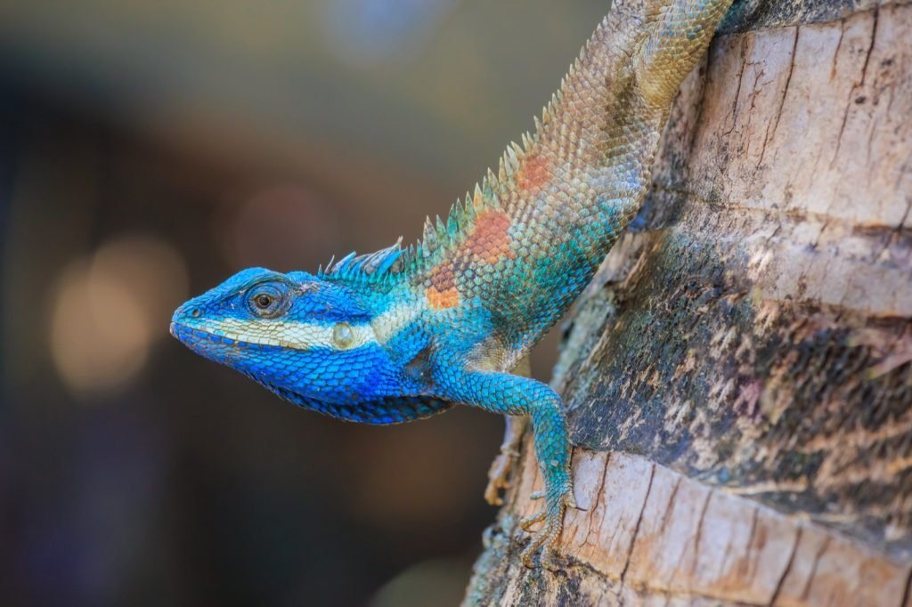 Colorful blue crested lizard on a tree trunk