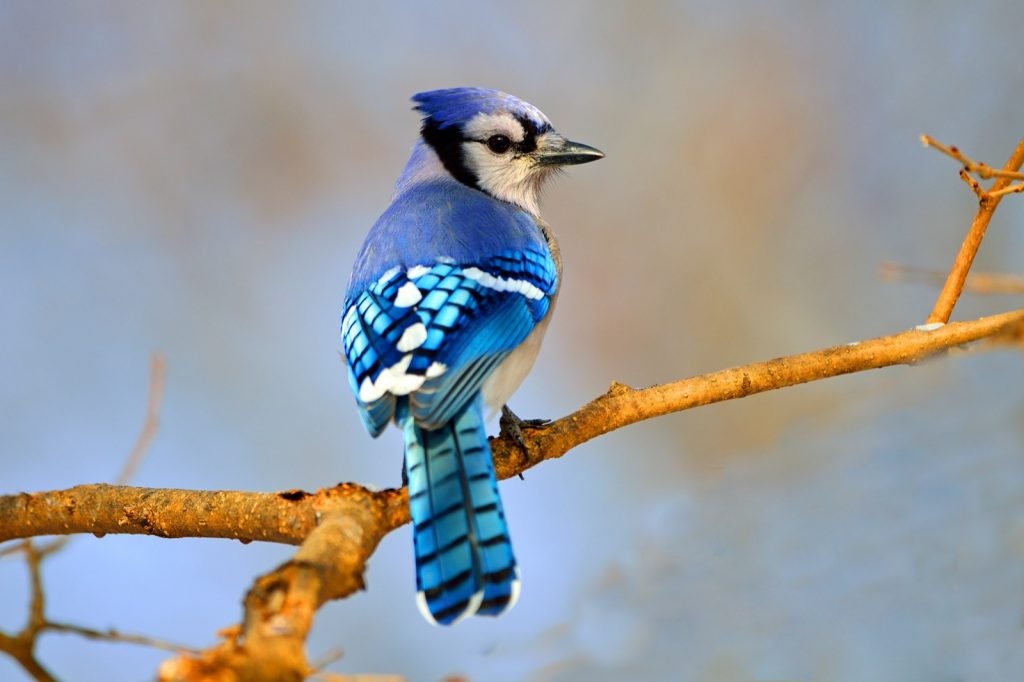Colorful Blue Jay sitting on branch