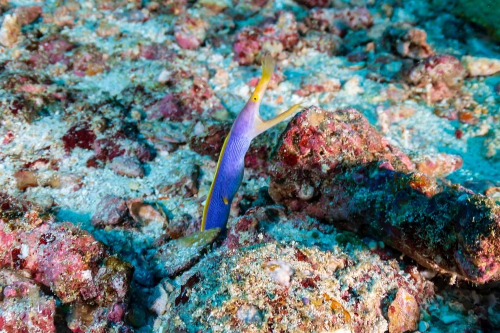 Colorful blue and yellow ribbon eel on a tropical coral reef