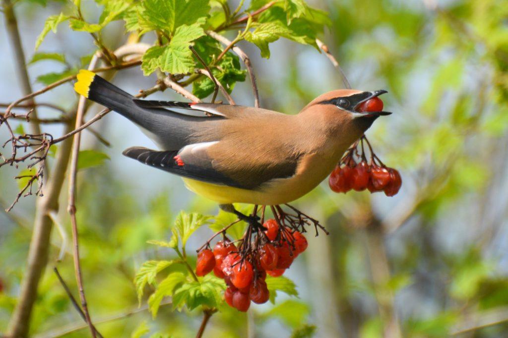 Colorful cedar waxwing bird eating berries