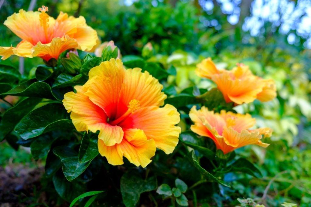 Colorful Hawaiian hibiscus aka Hibiscus Rosa-Sinensis in the garden