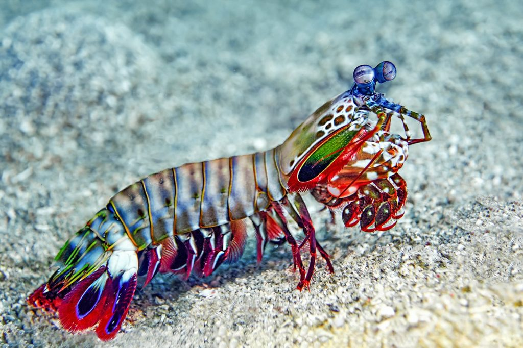 Colorful mantis shrimp on the seabed of the ocean