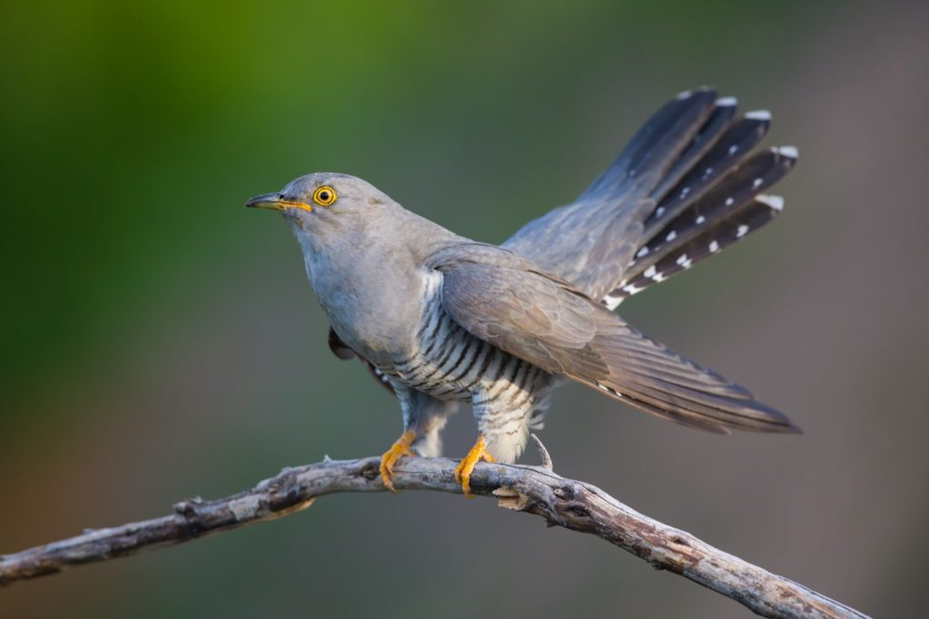 Common cuckoo bird also known as the Cuculus Canorus