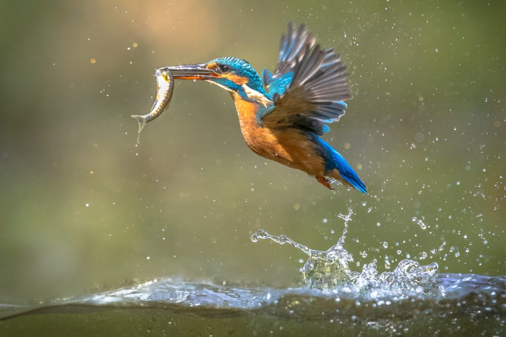 Common European Kingfisher emerging from water with fish catch