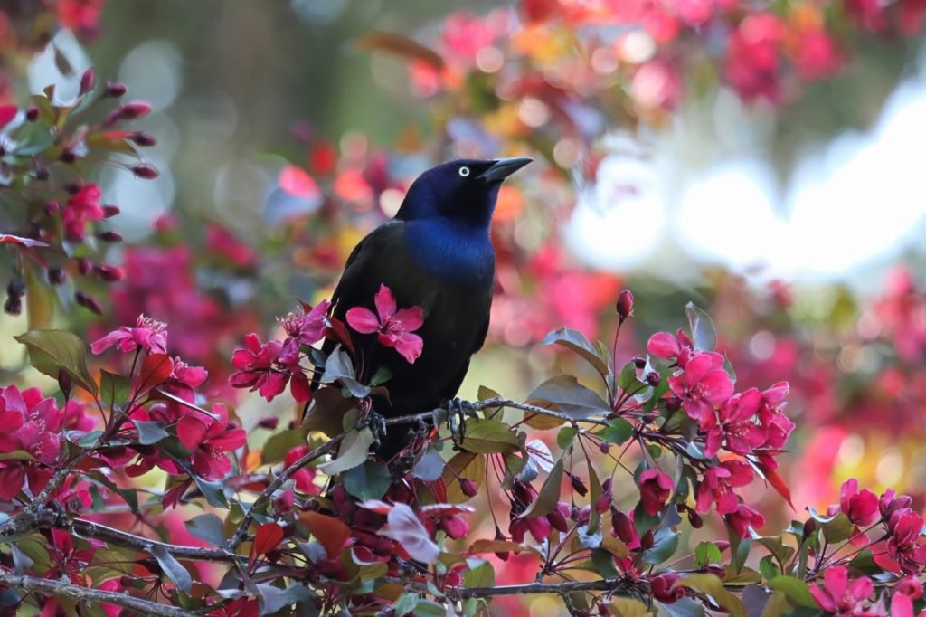 Common grackle in black and blue colors sitting in a tree between pink flowers