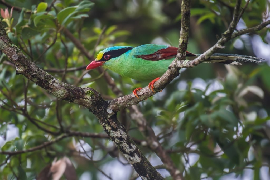 Common green Magpie sitting in a tree