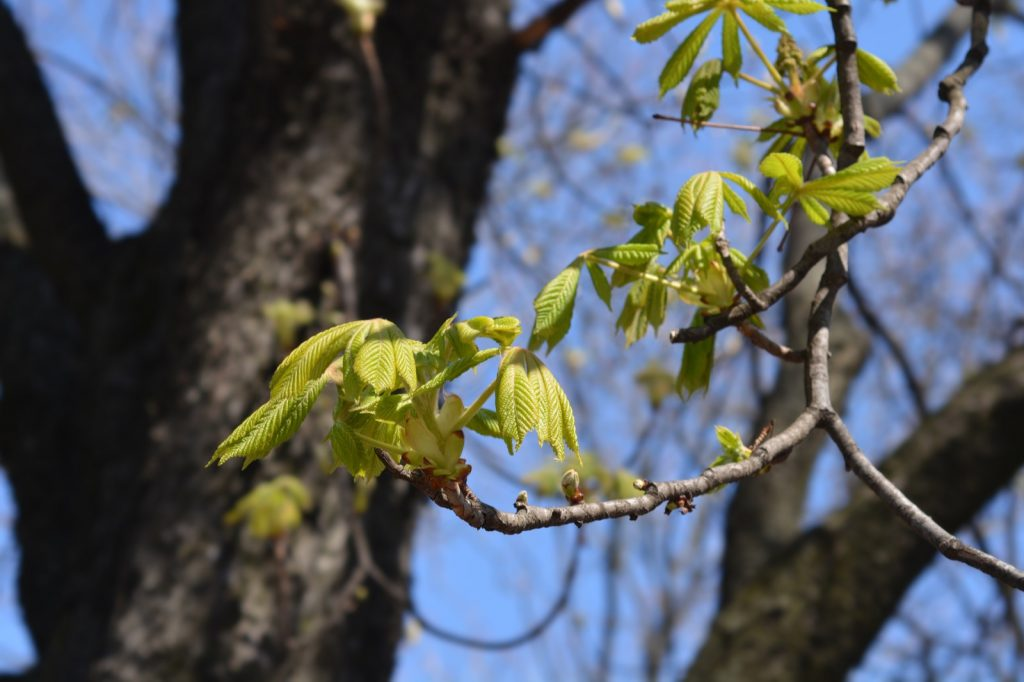 Common horse-chestnut tree with brown trunk and green leaves