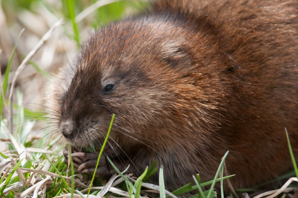 Close up of common muskrat sitting in green grass grooming itself