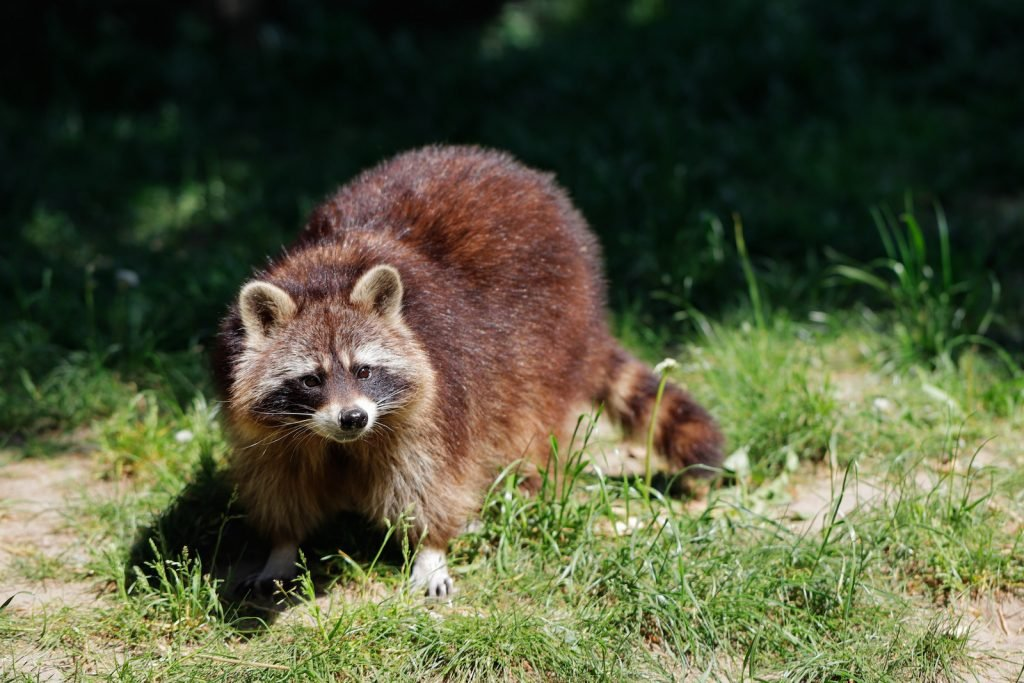 Close up of an adult common raccoon standing in the grass