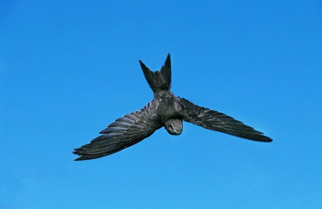 Black common swift in flight against a blue sky
