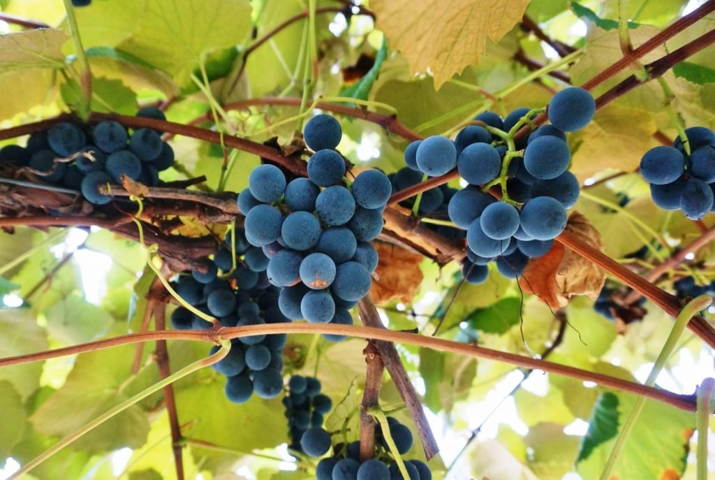 Pale blue Concord Grapes hanging on vines