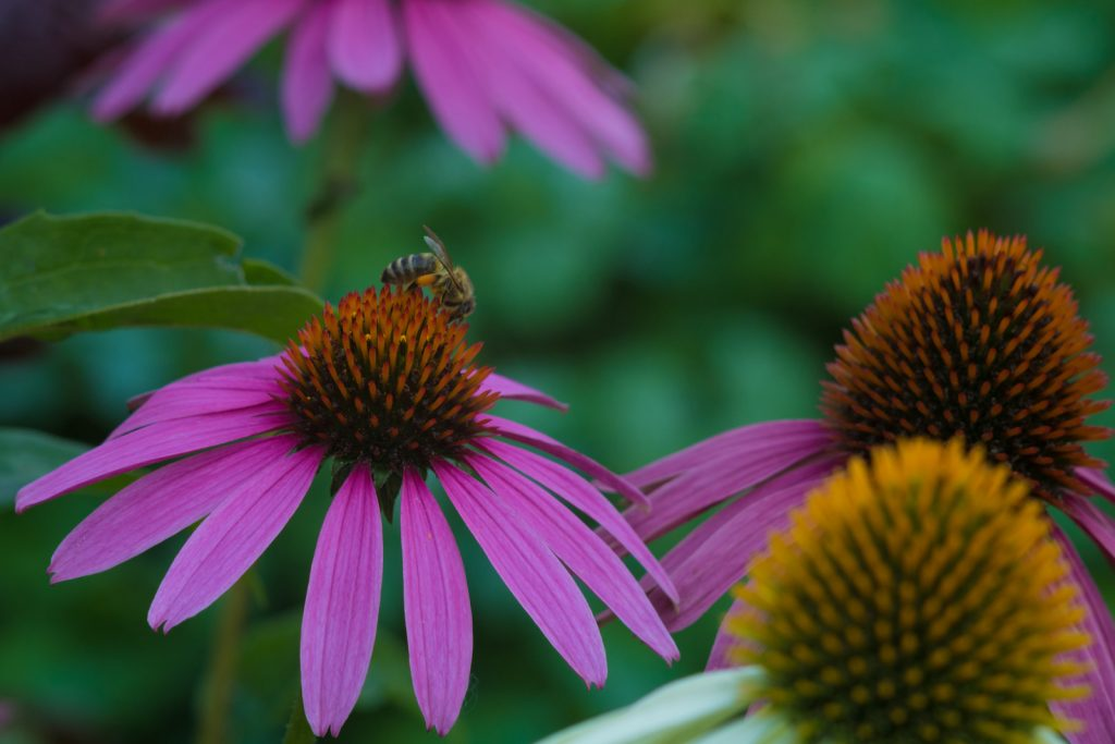 Closeup of Eastern purple coneflower featuring a bee sitting on the center of the flower head