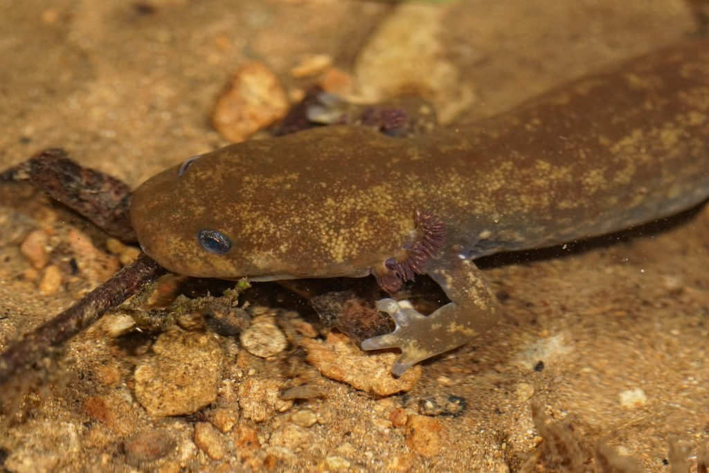 Close up of a Cope's giant salamander resting on the sandy bottom of a stream