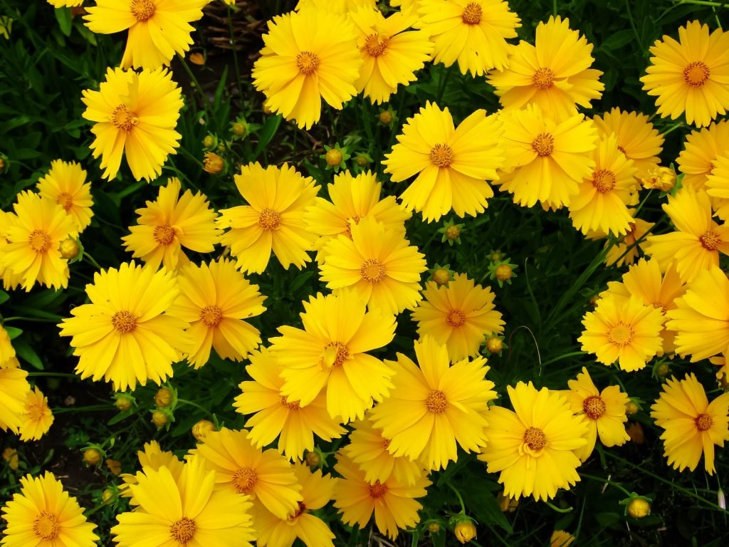 Yellow coreopsis flowers in a garden