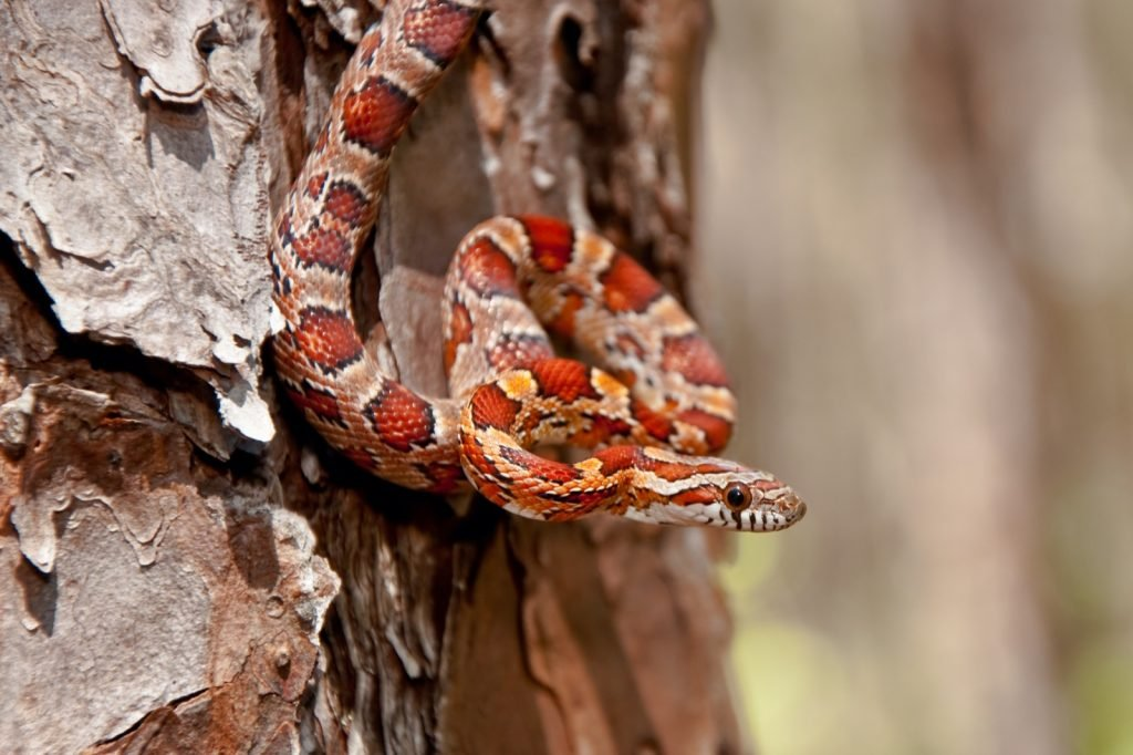 Corn snake or Pantherophis Guttatus hanging on the side of a tree