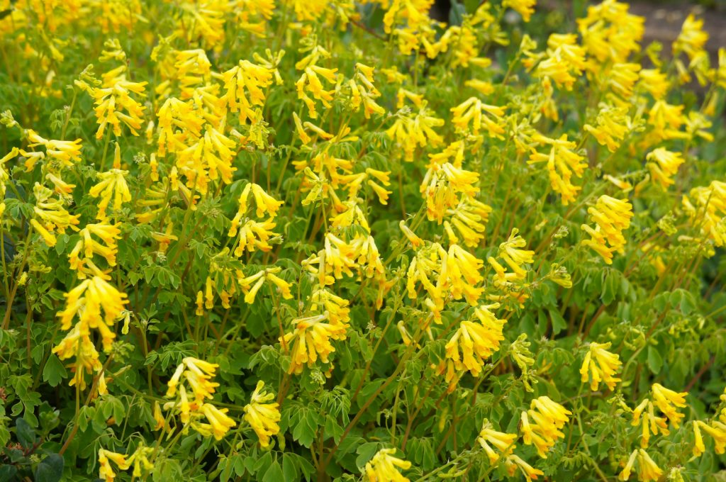 Closeup of a cluster of bright yellow corydalis