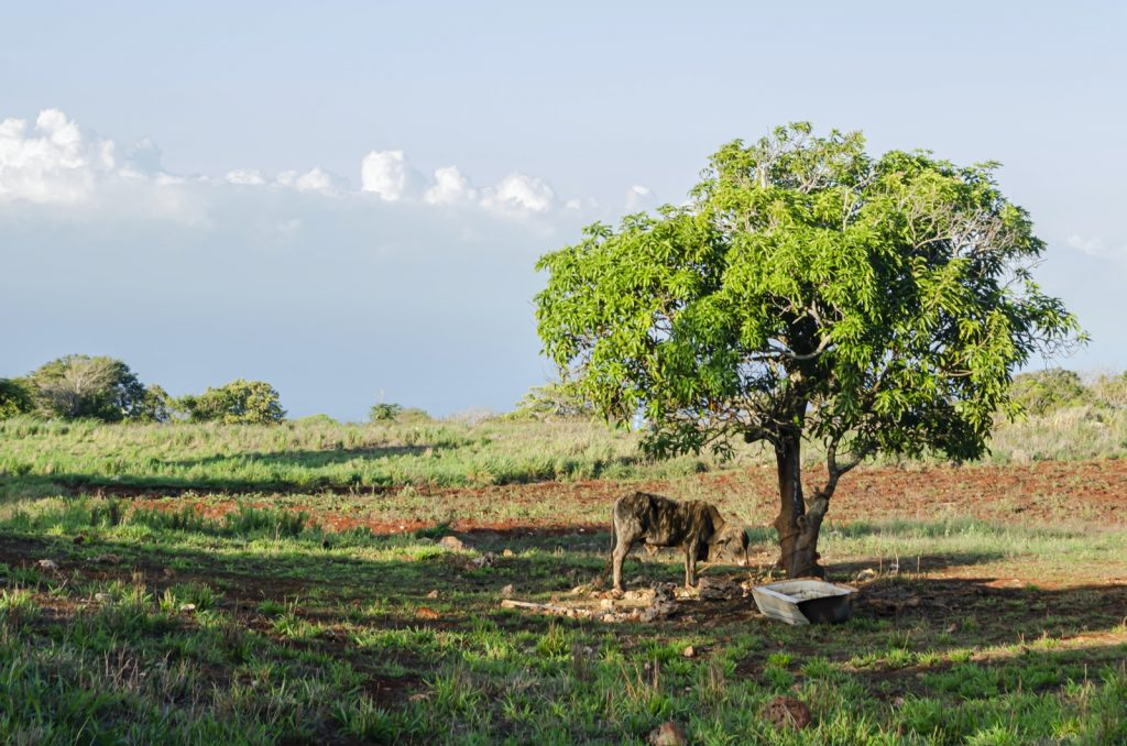 Cow standing under a mango tree