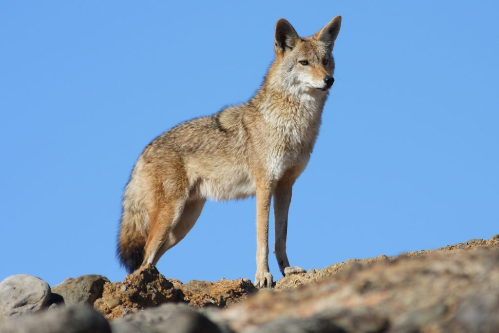 Coyote standing looking attentive in a desert-like area with clear blue sky in the background