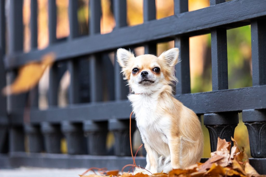 Small cream yellow chihuahua in the big city sitting in front of a fence