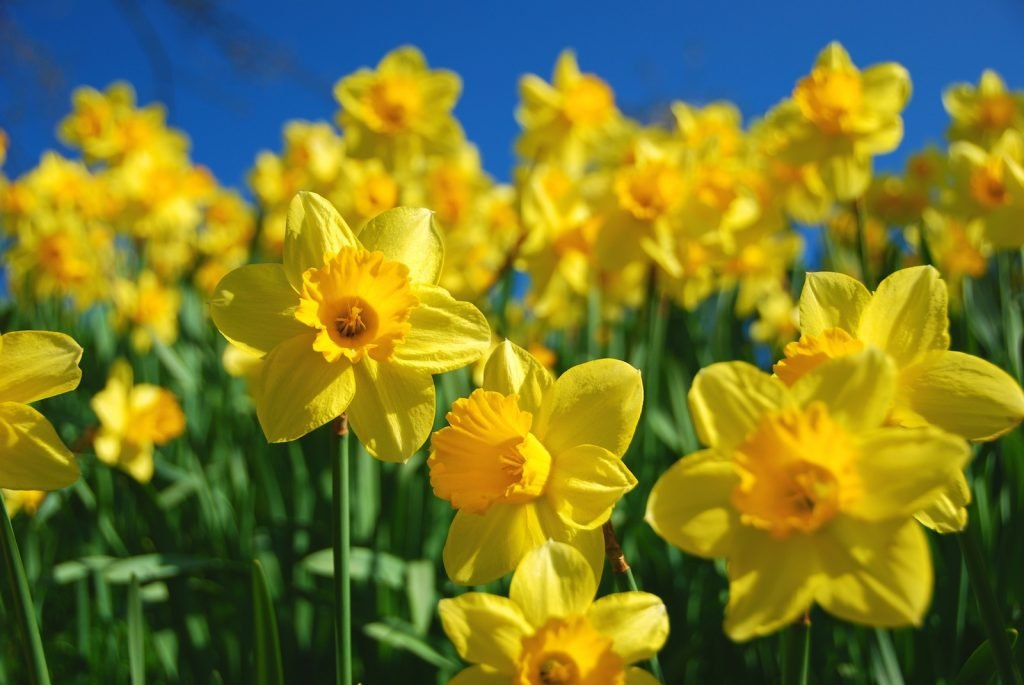 Yellow daffodils in the field with a clear blue sky above