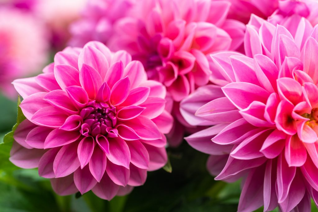Close up of pink dahlias in bloom in a garden