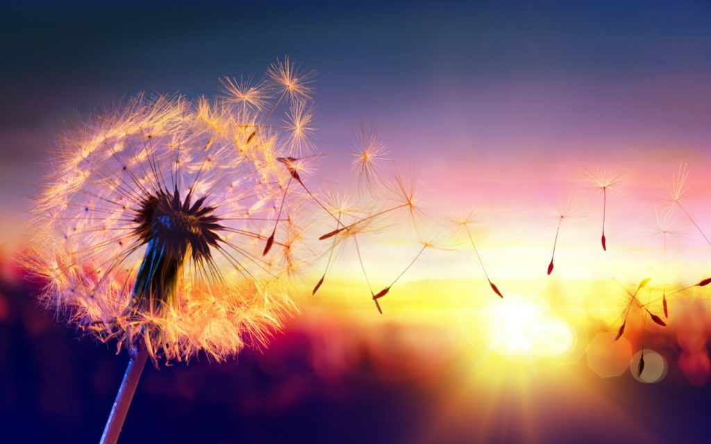 Dandelion with flying seeds at sunset