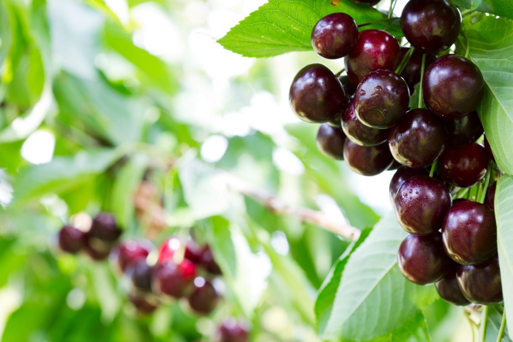 Big ripe cherries hanging from a cherry tree