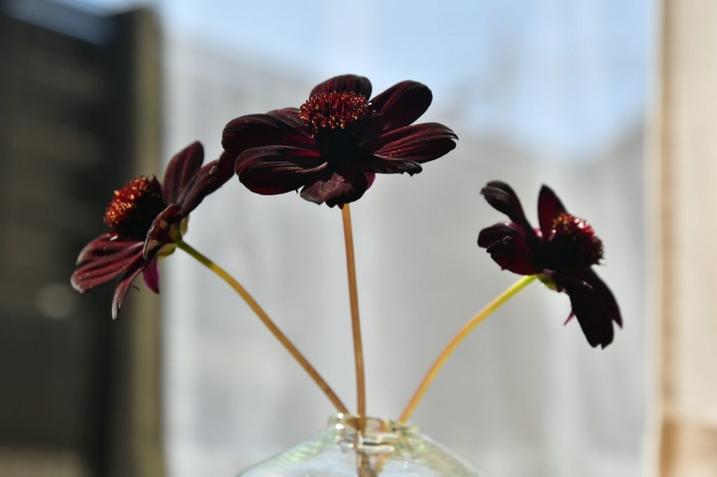 Dark chocolate cosmos in full bloom