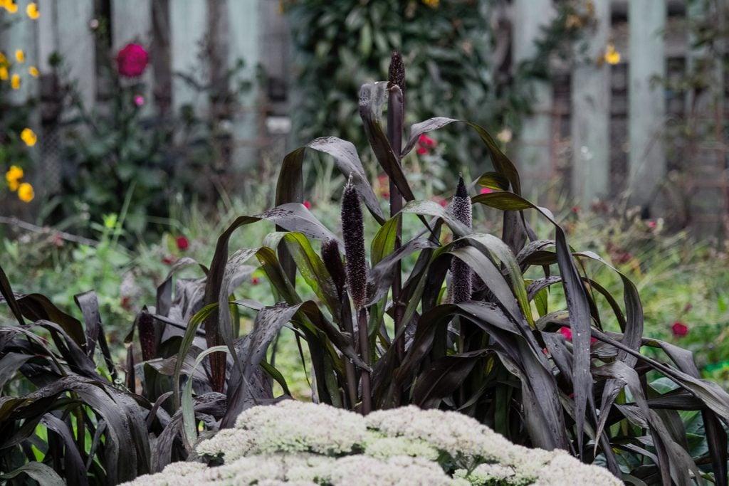Dark ornamental millet in a garden on a rainy day