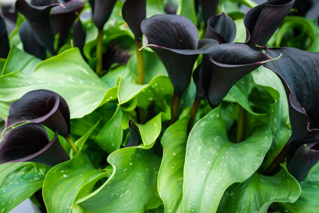 Dark purple black calla lilies