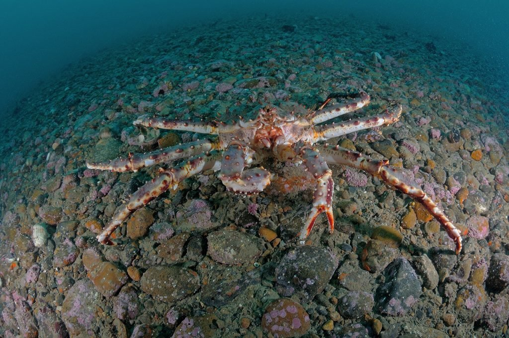 Dark red king crab or Paralithodes Camtschaticus on the ocean floor